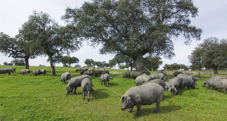 Durchzugplomben für Iberico-Schinken und Schweine