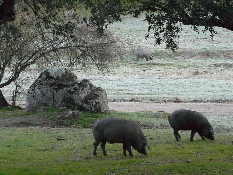 Cerdos-Ibéricos-Pedroches